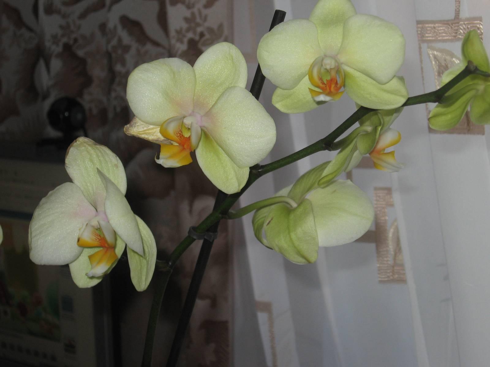 Сорт орхидеи по цветкам фото