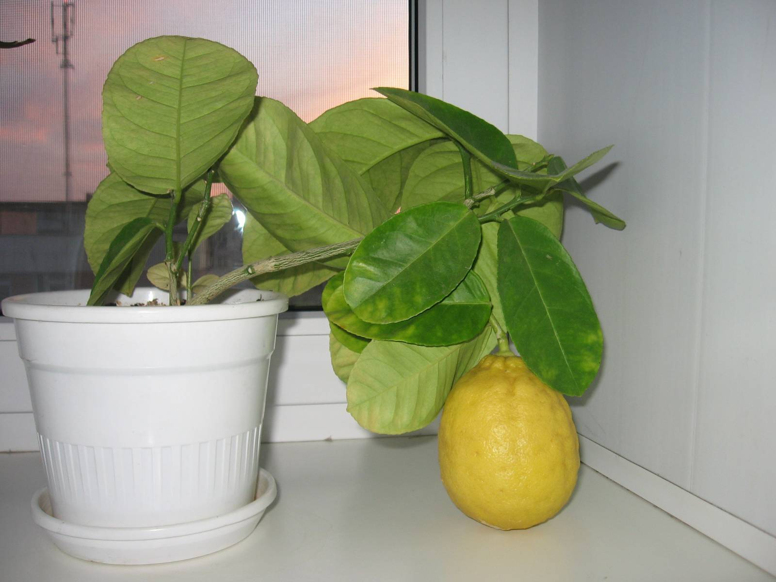 Лимонник в домашних условиях